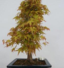 Bonsai L'Erable du Japon katsura, Acer palmatum katsura, no. 6405