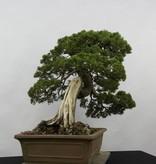 Bonsai Genévier de Chine, Juniperus chinensis itoigawa, no. 5178