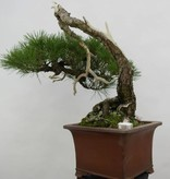 Bonsai Pin rouge du Japon, cascade, Pinus densiflora, no. 5113