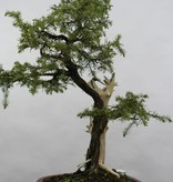 Bonsai Needle Jupiner, Juniperus rigida, no. 5416
