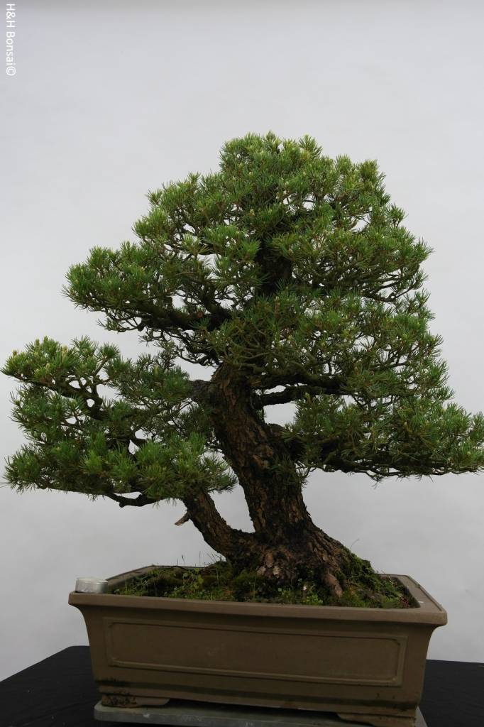 Bonsai White pine kokonoe, Pinus parviflora kokonoe, no. 5297