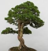 Bonsai Genévier de Chine, Juniperus chinensisitoigawa, no. 5122