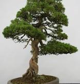 Bonsai Chinese Juniper, Juniperus chinensis itoigawa, no. 5122