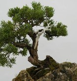 Bonsai Chinese Juniper, Juniperus chinensis, no. 5538