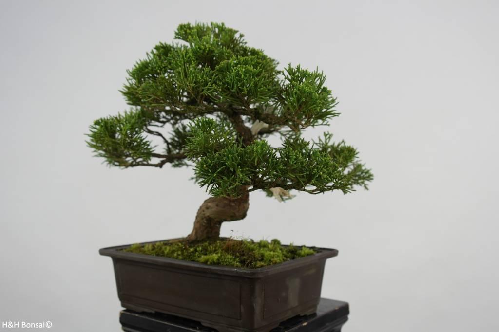 Bonsai Genévier de Chine, Juniperus chinensis, no. 5541