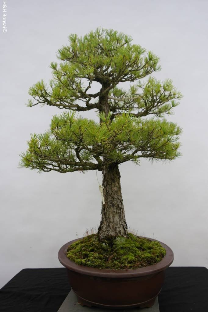Bonsai White pine, Pinus parviflora, no. 5303