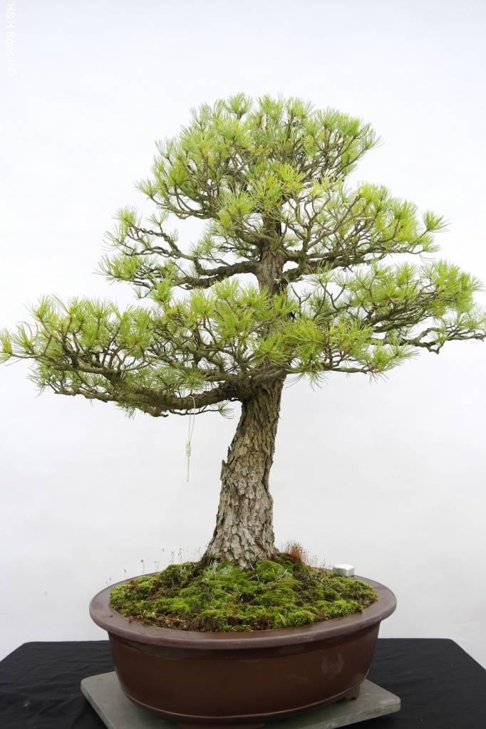 Bonsai White pine, Pinus parviflora, no. 5303