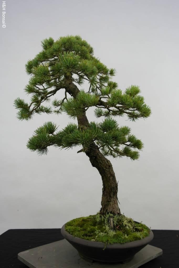 Bonsai Japanese White Pine, Pinus penthaphylla, no. 5503