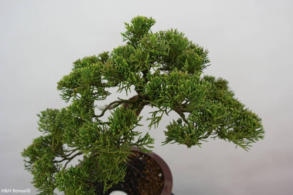 Bonsai Genévier de Chine, Juniperus chinensis, no. 5539