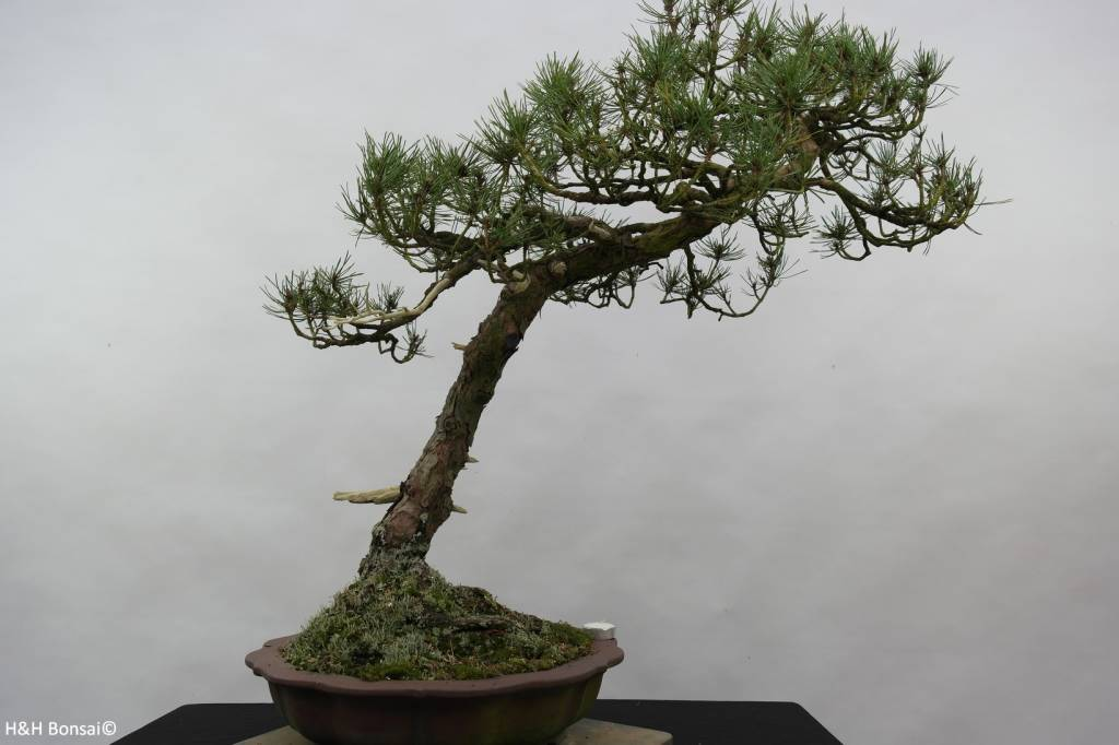 Bonsai Japanese Black Pine, Pinus thunbergii sp., no. 6430