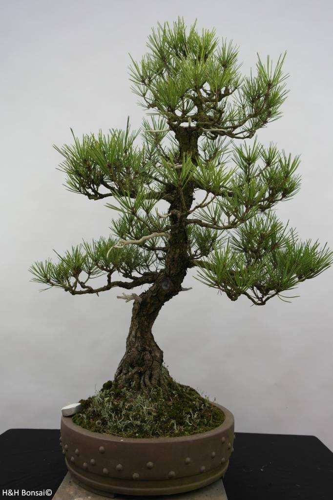 Bonsai Pin noir du Japon, Pinus thunbergii, no. 6431