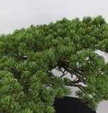 Bonsai Pin blanc du Japon, Pinus pentaphylla, no. 6432