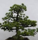 Bonsai Pin blanc du Japon, Pinus pentaphylla sp., no. 6433