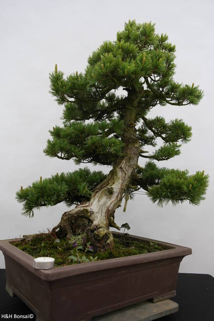 Bonsai Pin blanc du Japon, Pinus pentaphylla, no. 6434
