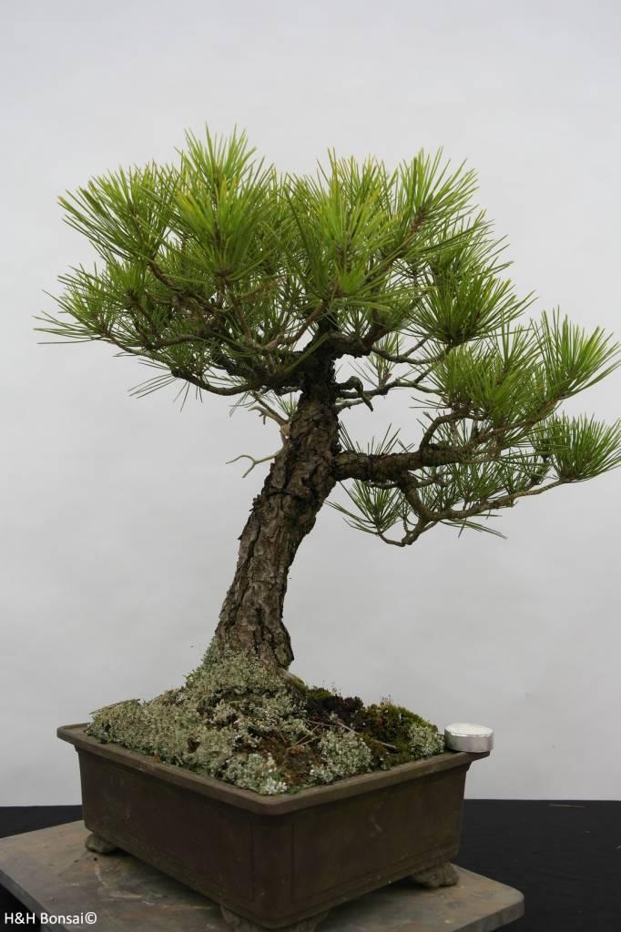 Bonsai pin noir du japon pinus thunbergii no 6435 www for Solde plante interieur