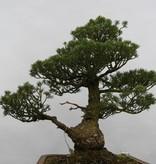 Bonsai Pin blanc du Japon kokonoe, Pinus parviflora kokonoe, no. 6436