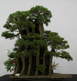 Bonsai Genévrier de Chine, Juniperus chinensis, no. 6437