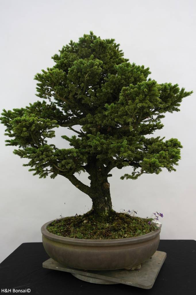 Bonsai epic a picea sp no 6438 for Solde pot exterieur