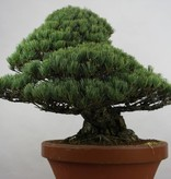 Bonsai Pin blanc du Japon, Pinus pentaphylla, no. 6453