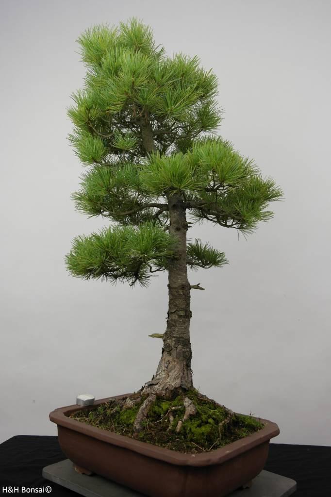 Bonsai Pin blanc du Japon azuma, Pinus parviflora azuma, no. 6456