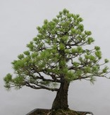 Bonsai Japanese White Pine, Pinus pentaphylla, no. 6458