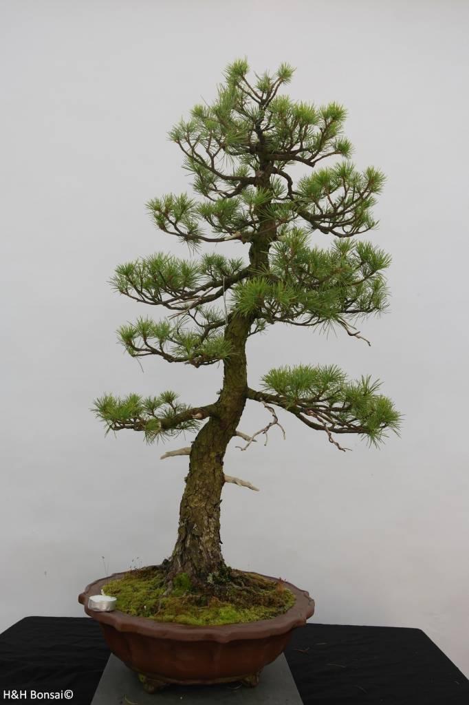 Bonsai Japanese White Pine, Pinus pentaphylla, no. 6461