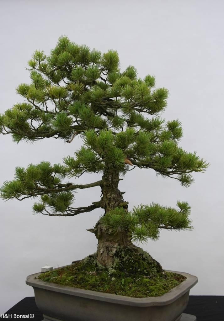 Bonsai White pine azuma, Pinus parviflora azuma, no. 6462