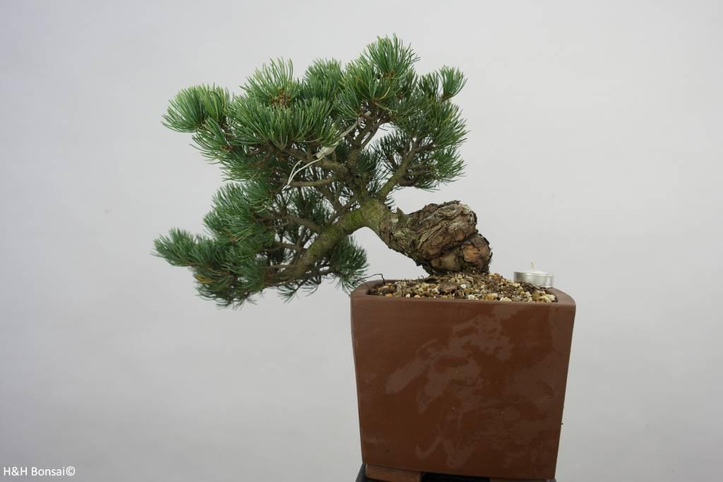 Bonsai Pin blanc du Japon, Pinus pentaphylla, no. 6475