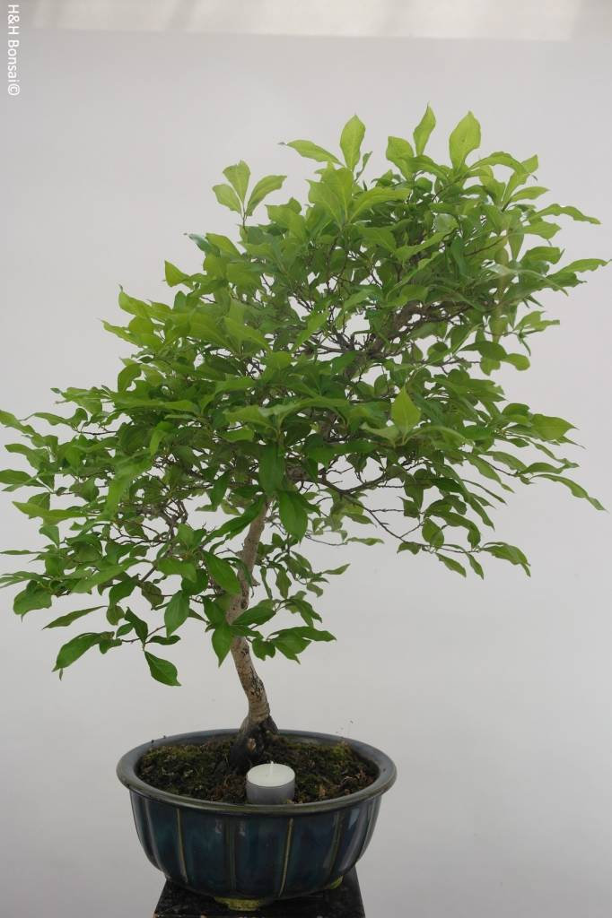 Bonsai diospyros kaki lotus kaki no 5576 www for Solde pot exterieur