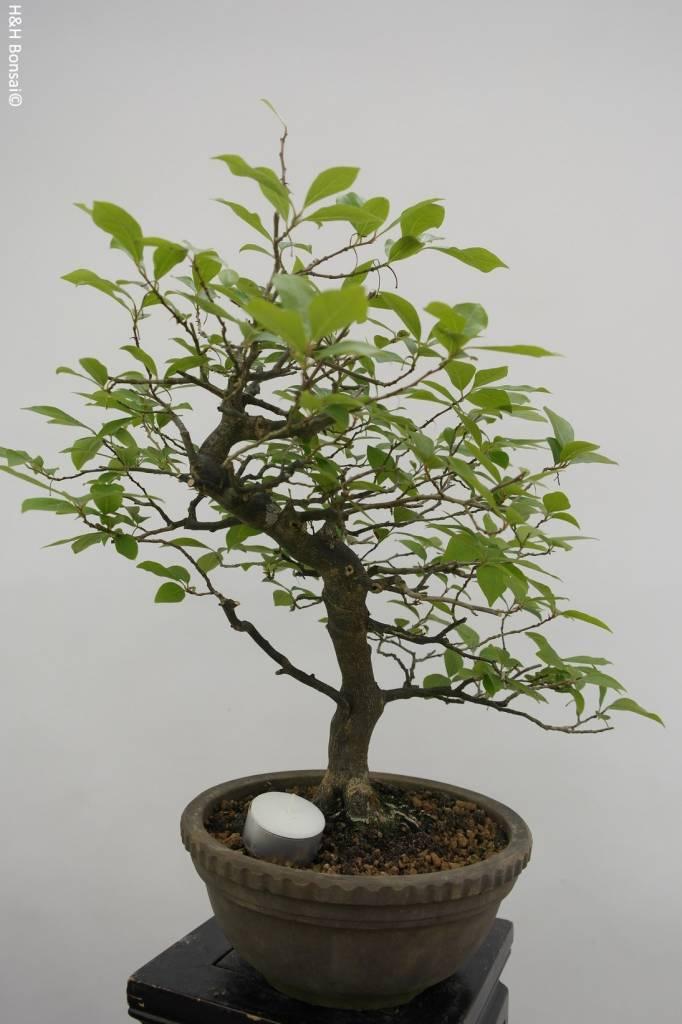 Bonsai Diospyros kaki, Lotus kaki, no. 5815