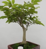 Bonsai Hêtre du Japon, Fagus crenata, no. 6445