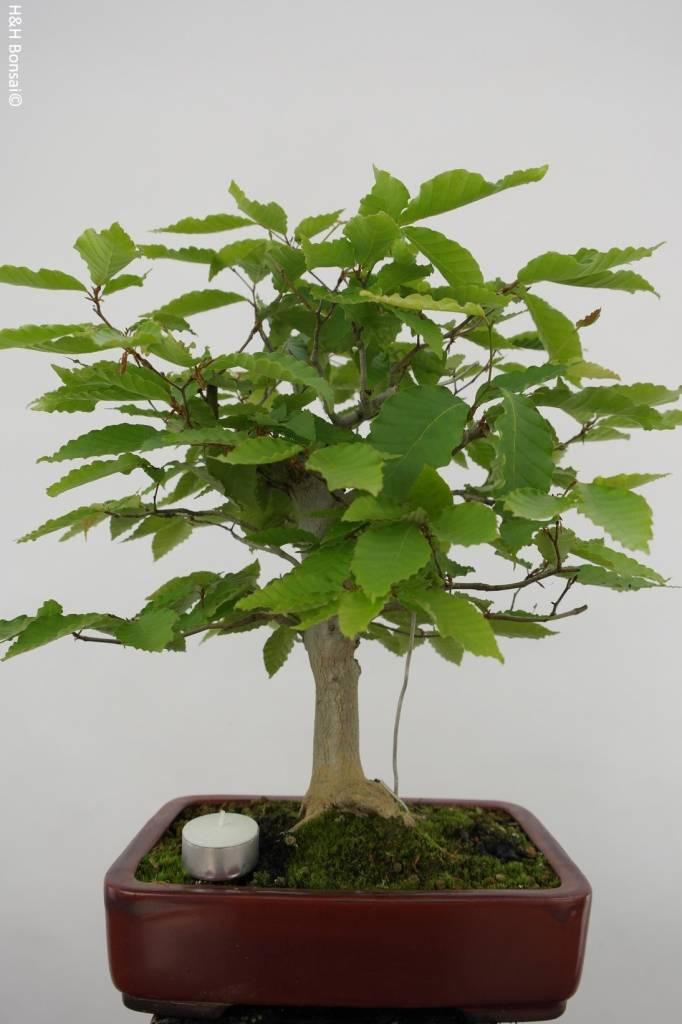 Bonsai Hêtre du Japon, Fagus crenata, no. 6442