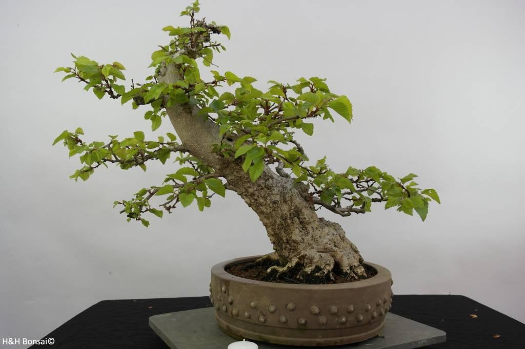 Bonsai Korean Hornbeam, Carpinus coreana, no. 5891