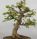 Bonsai Charme de corée, Carpinus coreana, no. 5883