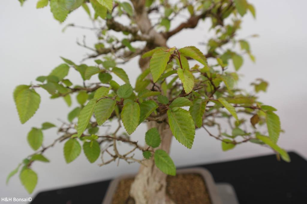 Bonsai Korean Hornbeam, Carpinus coreana, no. 5883