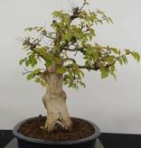 Bonsai Charme de corée, Carpinus coreana, no. 5885