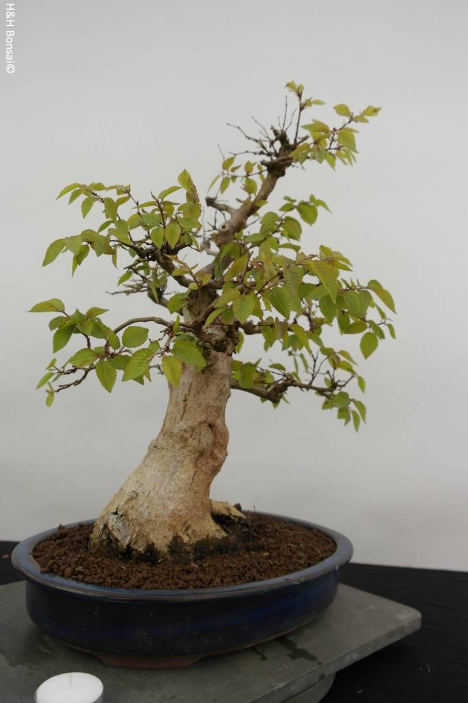 Bonsai Korean Hornbeam, Carpinus coreana, no. 5885
