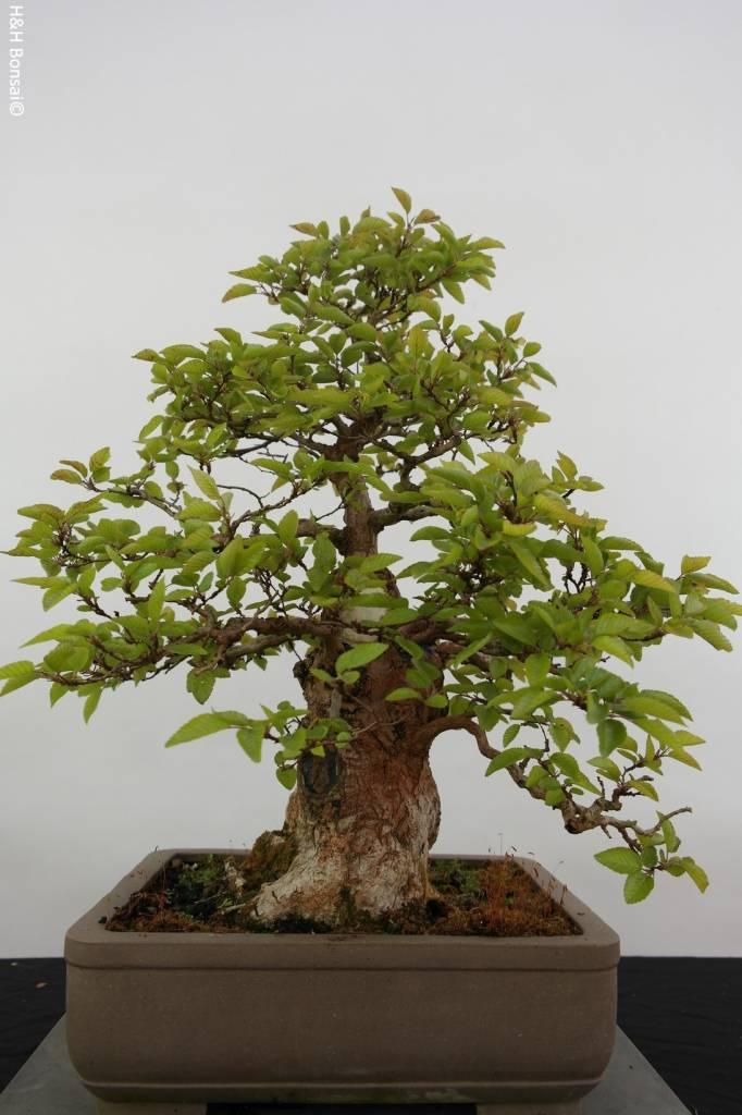 Bonsai Charme de corée, Carpinus coreana, no. 5887