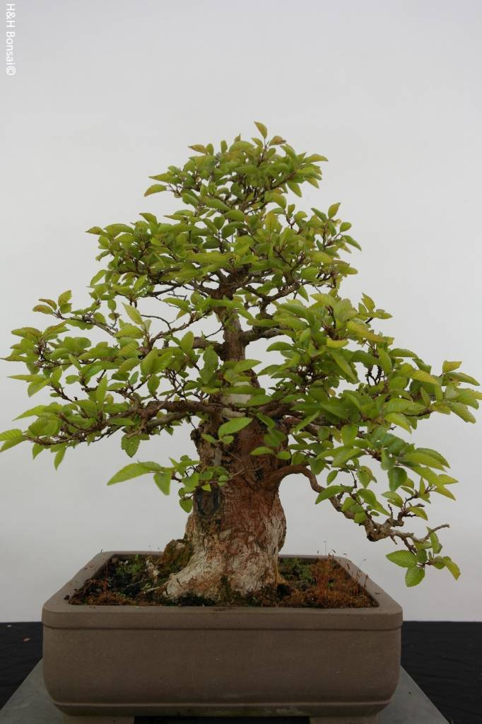 Bonsai Korean Hornbeam, Carpinus coreana, no. 5887