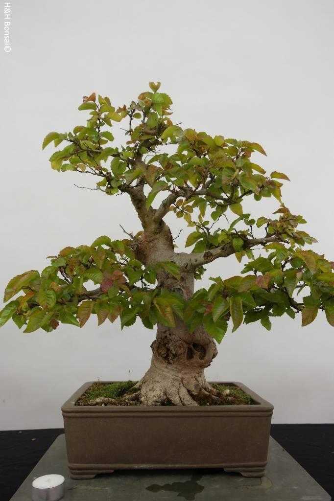 Bonsai Charme de corée, Carpinus coreana, no. 5884