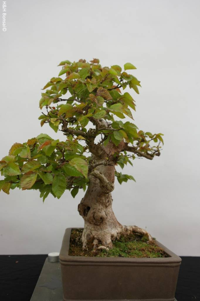 Bonsai Korean Hornbeam, Carpinus coreana, no. 5884