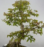 Bonsai Korean Hornbeam, Carpinus coreana, no. 5889