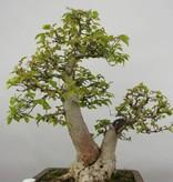 Bonsai Korean Hornbeam, Carpinus coreana, no. 5886