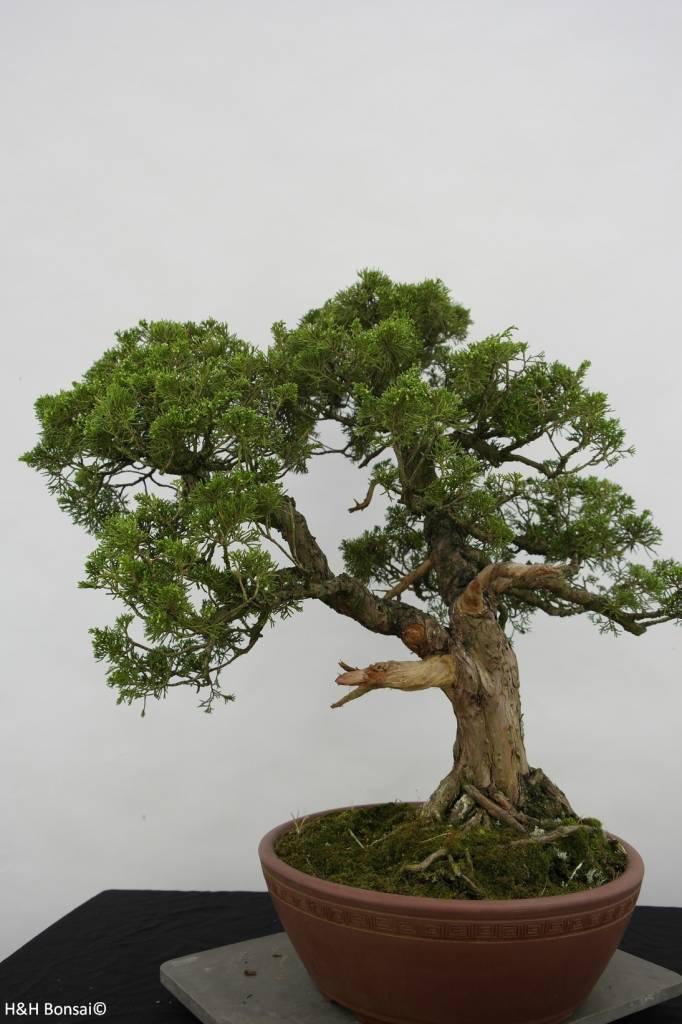 Bonsai Chinese Juniper, Juniperus chinensis, no. 6483