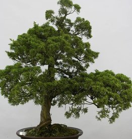 Bonsai Genévrier de Chine, Juniperus chinensis, no. 6484