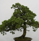 Bonsai Chinese Juniper, Juniperus chinensis, no. 6484