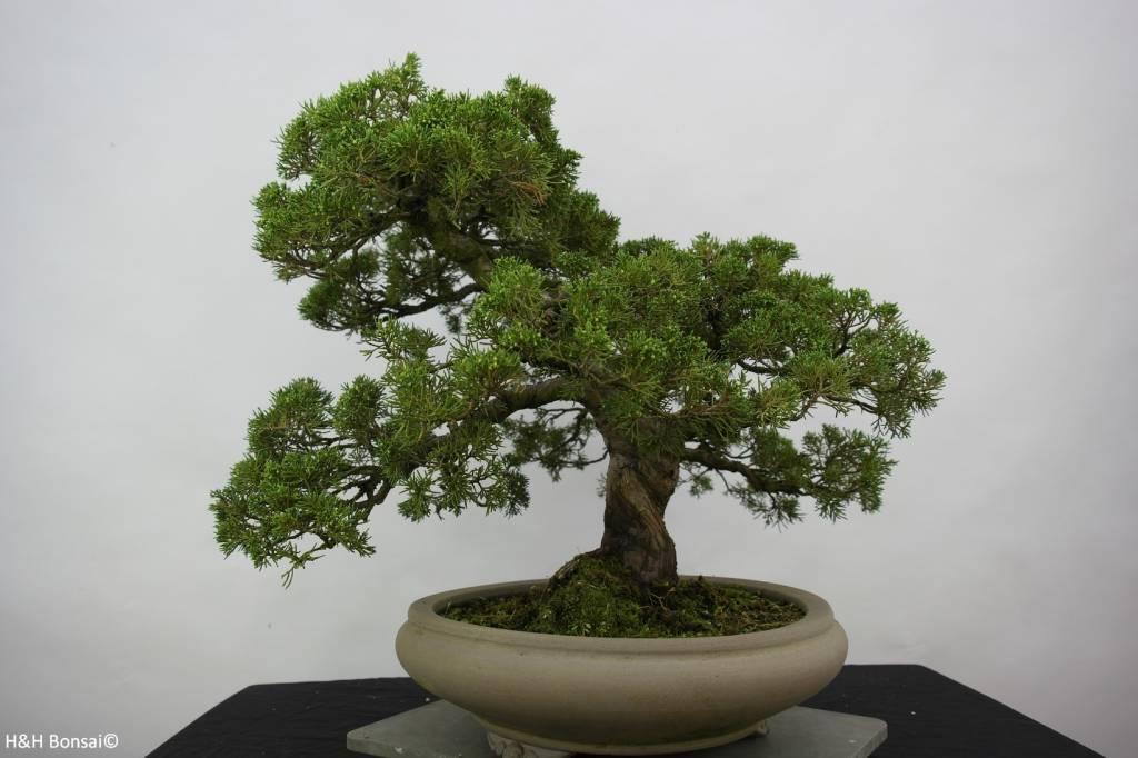 Bonsai Genévrier de Chine, Juniperus chinensis, no. 6487