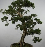 Bonsai Chinese Juniper, Juniperus chinensis, no. 6492