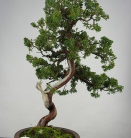 Bonsai Genévrier de Chine, Juniperus chinensis, no. 6493