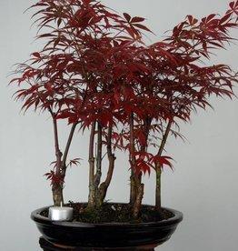 Bonsai L'Erable du Japon, Acer Palmatum atropurpureum, no. 6238